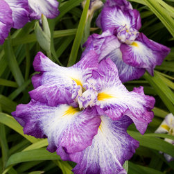 Cascade Spice Japanese Iris - Photo By Doreen Wynja © EyeoftheLady.com