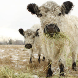 "Cow Art Photo French Country by Lucy Snowe Photography - Humor is one of the best medicines against the cold. Just looking at these two comical cows captured by Lucy Snowe makes me feel cozy. I think they're saying, ""Hey you, lady with the camera. You look cold. You really should have a much shaggier coat."""