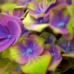 Hydrangea Purple And Green-Rungis Market, Fine Art Photography Print, 8X12 - This photo was taken in France at the Rungis Market. April 2012.   The Rungis Market is said to be the world's largest wholesale market for food in the world.  The floral market was amazing. full of beautiful flowers, some which I have never seen in the States.