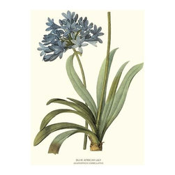 Blue African Lily Flower Botanical Print - 8x10 Print - Vintage style botanical flower art print from turn of the 19th century illustrations.