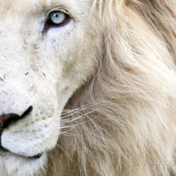 Full Frame Close Up Portrait of a Male White Lion with Blue Eyes, South Africa - A white male lion print is stunning — and a little scary.