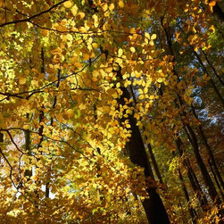 Murals Your Way - Colorful Autumn Foliage Wall Art - As if golden sunlight had been captured in each yellow oval, the leaves in this forest seem to glow from within.