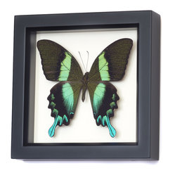 Real Peacock Swallowtail Butterfly Shadowbox