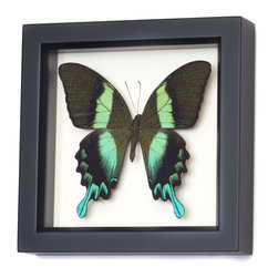 Bug Under Glass - Real Peacock Swallowtail Butterfly Shadowbox - This electrifying butterfly, professionally mounted by an entomologist, will reflect the light in your home in surprising ways. The Papilio blumei species, or Peacock Swallowtail, is endemic to the Indonesian island of Sulawesi. This rare beauty will add and ethereal luster to any wall you hang it on.