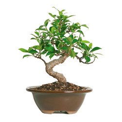 Brussel's Bonsai - Golden Gate Ficus Bonsai Tree - Select a spot indoors to show off the artistic curve of the famed Golden Gate ficus trunk. It's been hand-wired to evoke the signature shape, while supporting a vibrant head of dark green leaves. This tiny tree makes a lovely housewarming gift for the novice gardener, as it's very easy to care for.