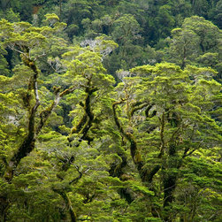 Murals Your Way - Beech Forest, Fiordland National Park Wall Art - Photographed by Stephen  Matera, Beech Forest, Fiordland National Park wall mural from Murals Your Way will add a distinctive touch to any room