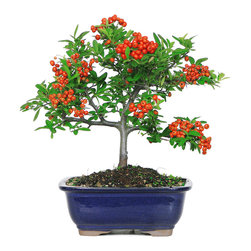 Brussel's Bonsai - Dwarf Pyracantha Bonsai Tree - A showy spray of red berries give the pyracantha its signature look. You can set this miniature tree outdoors and watch as its starry white blossoms come out in April and transform into berries throughout the fall months. The tiny tree does especially well in the sunshine and in temperatures above 20 degrees.