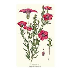 Garden Flax Flower Botanical Print - 8x10 Print - Vintage style botanical flower art print from turn of the 19th century illustrations.