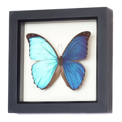 Bug Under Glass - Framed Blue Morpho Butterfly Display - This species of Blue Morpho, Morpho menelaus, is the icon of the blue morpho family.  With its deep blue iridescent and large size, it will catch an eye in any room.  Professionally preserved and mounted in gallery frame with UV blocking glass.  Comes with gift box, natural history details and information about the ethical origin of the specimen.  signed and dated by artist.