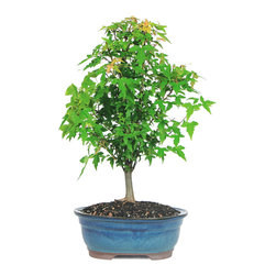 Brussel's Bonsai - Trident Maple Bonsai Tree - Keep this beautiful maple on a patio and watch as its leaves transform from bright green in the spring to warm orange in the fall. This little bonsai is one of nature's showstoppers. Its continuous show of color makes it a prize of any gardener.