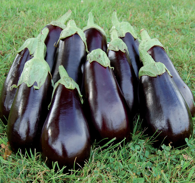 Summer Crops: How To Grow Eggplant