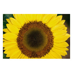 Custom Photo Factory - Close-up of Sunflower Canvas Wall Art - Close-up of Sunflower  Size: 20 Inches x 30 Inches . Ready to Hang on 1.5 Inch Thick Wooden Frame. 30 Day Money Back Guarantee. Made in America-Los Angeles, CA. High Quality, Archival Museum Grade Canvas. Will last 150 Plus Years Without Fading. High quality canvas art print using archival inks and museum grade canvas. Archival quality canvas print will last over 150 years without fading. Canvas reproduction comes in different sizes. Gallery-wrapped style: the entire print is wrapped around 1.5 inch thick wooden frame. We use the highest quality pine wood available. By purchasing this canvas art photo, you agree it's for personal use only and it's not for republication, re-transmission, reproduction or other use.