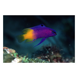 Custom Photo Factory - Tropical Fish Canvas Wall Art - Tropical Fish  Size: 20 Inches x 30 Inches . Ready to Hang on 1.5 Inch Thick Wooden Frame. 30 Day Money Back Guarantee. Made in America-Los Angeles, CA. High Quality, Archival Museum Grade Canvas. Will last 150 Plus Years Without Fading. High quality canvas art print using archival inks and museum grade canvas. Archival quality canvas print will last over 150 years without fading. Canvas reproduction comes in different sizes. Gallery-wrapped style: the entire print is wrapped around 1.5 inch thick wooden frame. We use the highest quality pine wood available. By purchasing this canvas art photo, you agree it's for personal use only and it's not for republication, re-transmission, reproduction or other use.