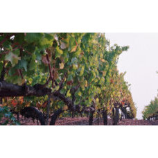 Crops in a Vineyard, Sonoma County, California, USA Photographic Print at Art.co