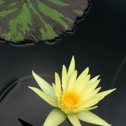 """""""Yellow Star"""" Artwork - Yellow star Lily in pond with green leaf pad"""