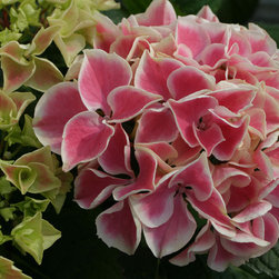 Edgy® Hearts Bigleaf Hydrangea - Edgy® Hearts intense blooms with dark pink flowers