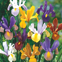 Michigan Bulb Company - Dutch Iris Carmen Bulb - Set of 40 - With elegantly shaped blooms in lavender, blue, white and yellow hues, these sword-like plants provide remarkable color in the summer and multiply rapidly each year.   Note: This item will ship in accordance to your location's hardiness zone. Please refer to the alternate image to determine your region's shipping date. Shipping dates may vary slightly due to weather conditions.   Includes 40 bulbs Grows to approx. 24'' H Perennial Partial shade Imported
