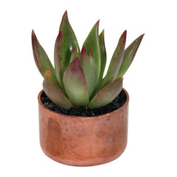 """MODgreen - Echeveria A.- 2"""" Copper Potted Cactus and Succulents - Native to Mexico this echeveria brings a beautiful contrast of green and red to the table. The copper pot adds a rustic touch to our trendy and cool design making it a very desired item among our customers. Keep indoors under bright light and water lightly once every two weeks."""