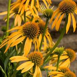 Mango Meadowbrite™ Coneflower - Photo By Doreen Wynja © EyeoftheLady.com