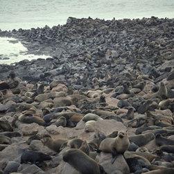 Cape Fur Seals On Beach Photo Wall Mural - Cape Fur Seals On Beach - Deluxe Traditional Wallpaper - 12 Feet Wide X 8 Feet High