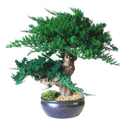 "Jin Bonsai - An artfully built piece of work.   A thicker trunk and over-sized preserved juniper create this illusion of a mature, sculpted bonsai.  A 10"" round black ceramic bonsai container is included.  Standing 22""Tall"