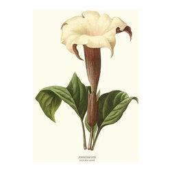 Jimsonweed Flower Botanical Print - 11x14 Print - Vintage style botanical flower art print from turn of the 19th century illustrations.