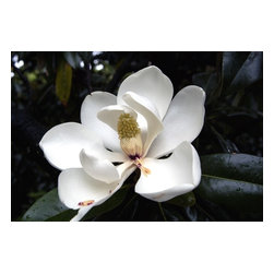 Magnolia #7, Limited Edition, Photograph - Magnolia, signed, limited edition of 20, archival, printed on Hahnemuhle fine art paper. Can be printed different sizes upon request.