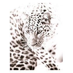 Amur Leopard Fine Art Photograph, 11x14, Giclee' - Amur leopard crouching in front of a bright white sky. Fine art wildlife photograph in monochrome with a touch of sepia. Size of paper is 11x14 with a small white border for ease of framing.
