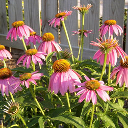 Coneflower - Kims Knee High -
