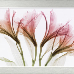 Alstromeria Framed Print by Steven N. Meyers