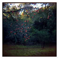 01 Winter Fruit, Limited Edition, Photograph - Color toy camera image from the series 'remembered landscapes'. 20 x 20 image size in edition of 15 (price increases as edition sells).  Printed on Hahnemuhle bamboo sustainable paper and using soy based inks. Each print is signed and numbered verso and delivered unframed and unmatted.