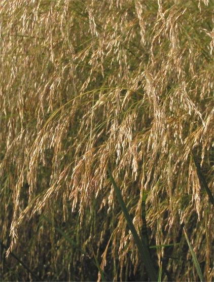 Tufted hair grass (Deschampsia cespitosa)