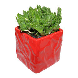 "MODgreen - Euphorbia f. - 4"" Ceramic Potted Cactus and Succulents - This E. flanaganii cristata is commonly known as 'Green Coral Plant' and it is native to South Africa. Water once a month and place under bright light. With this design MODgreen has put a new twist to the standard ceramic cube planter by giving them a corrugated texture that make these beautiful pots stand out above the rest."