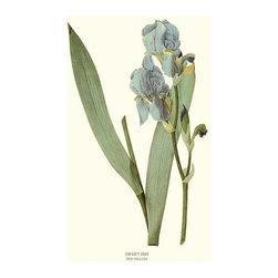 Sweet Iris Flower Botanical Print - 8x10 Print - Vintage style botanical flower art print from turn of the 19th century illustrations.