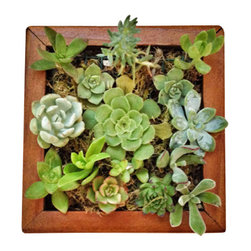 Local Timber - Vertical Succulent Kit - This DIY Living Wall Succulent Kit comes with one wooden planter with netting to hold the soil in place, succulent soil, moss and 12 succulent cuttings.
