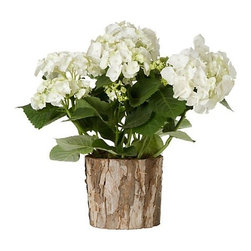 Mophead Hydrangea - This is something to remind yourself that spring is coming, that it won't always be cold and snowy. Bring some greenery and freshness inside while the outside slumbers.