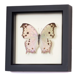 Bug Under Glass - Real Framed Mother of Pearl Butterfly - A real Mother of Pearl butterfly is forever preserved in its own shadowbox, adding a delicate shimmer to your hallway, kitchen or living area. Cluster a group together to create your own walled migration, or let a single delicate butterfly bring spring inside year-round.