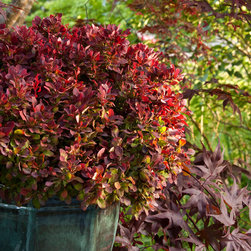 Golden Ruby® Barberry - Photo By Doreen Wynja © EyeoftheLady.com