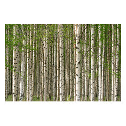 Custom Photo Factory - Grove of Birch Tree's Canvas Wall Art - Grove of Birch Tree's  Size: 20 Inches x 30 Inches . Ready to Hang on 1.5 Inch Thick Wooden Frame. 30 Day Money Back Guarantee. Made in America-Los Angeles, CA. High Quality, Archival Museum Grade Canvas. Will last 150 Plus Years Without Fading. High quality canvas art print using archival inks and museum grade canvas. Archival quality canvas print will last over 150 years without fading. Canvas reproduction comes in different sizes. Gallery-wrapped style: the entire print is wrapped around 1.5 inch thick wooden frame. We use the highest quality pine wood available. By purchasing this canvas art photo, you agree it's for personal use only and it's not for republication, re-transmission, reproduction or other use.
