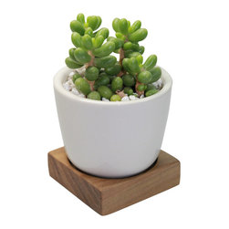 "MODgreen - Sedum - 3"" Domestic Hardwood Potted Cactus and Succulents - A very modern Sedum hernandezii has been potted in the MODgreen Mini ceramic pot which is ideal for mini cactus and succulents and will bring in a big punch of style to any setting.  The mini collection is also great for using as Wedding/Party favors, and will have your guest remembering your event for months to come."