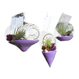 Air Plant Company - 3 Purple Hanging Airplant Terrariums - Airplants, also kown as Tillandsia, is a genus of around 540 species of evergreen, perennial (flowers that stay alive through seasons -opposite annual which is one season ) flowering plant. Native to the forests, mountains, and deserts of Central and Soutmerica, the southern United States and the West Indies.