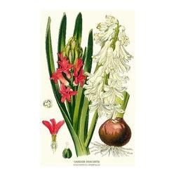 Garden Hyacinth Flower Botanical Print - 8x10 Print - Vintage style botanical flower art print from turn of the 19th century illustrations.