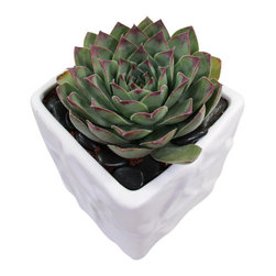 "MODgreen - Sempervivum t. - 4"" Ceramic Potted Cactus and Succulents - This perfect rosette-shaped plant is commonly called 'House leek' or 'Hen and Chicks' and it is native to Southern Europe. Water once a month and place under bright light. With this design MODgreen has put a new twist to the standard ceramic cube planter by giving them a corrugated texture that make these beautiful pots stand out above the rest."