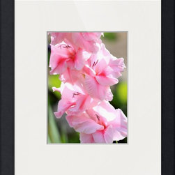 Cotton Candy Gladiolus -