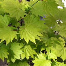 Full moon maple (Acer shirasawanum 'Aureum')