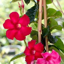 Crimson Jewel® Mandevilla - Photo By Doreen Wynja © EyeoftheLady.com