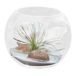 Air Plant Company .com - Air Plant Table Orb - Comes with Air plant star fish white sand and large exotic sea shell. Sea Shells may vary on style.