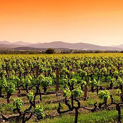 Magic Murals - Vineyard Sunrise Panorama Wall Mural -- Self-Adhesive Wallpaper by MagicMurals - The morning sun rises over this vineyard in Provence, France filling the sky with a golden, sun-lit glow.  The grape vines are in the foreground and the rolling hills of the French countryside are shrouded in morning mist in the background.