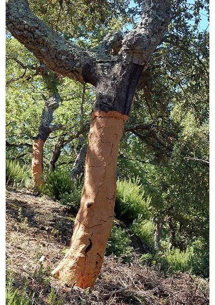 Great Design Plant: Cork Oak