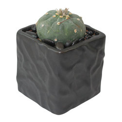 "MODgreen - Submatucana m. - 4"" Ceramic Potted Cactus and Succulents - S. madisoniorum is a very attractive globular cactus native to Peru. Spines are common but not always present. Water once a month and place under bright light. With this design MODgreen has put a new twist to the standard ceramic cube planter by giving them a corrugated texture that make these beautiful pots stand out above the rest."